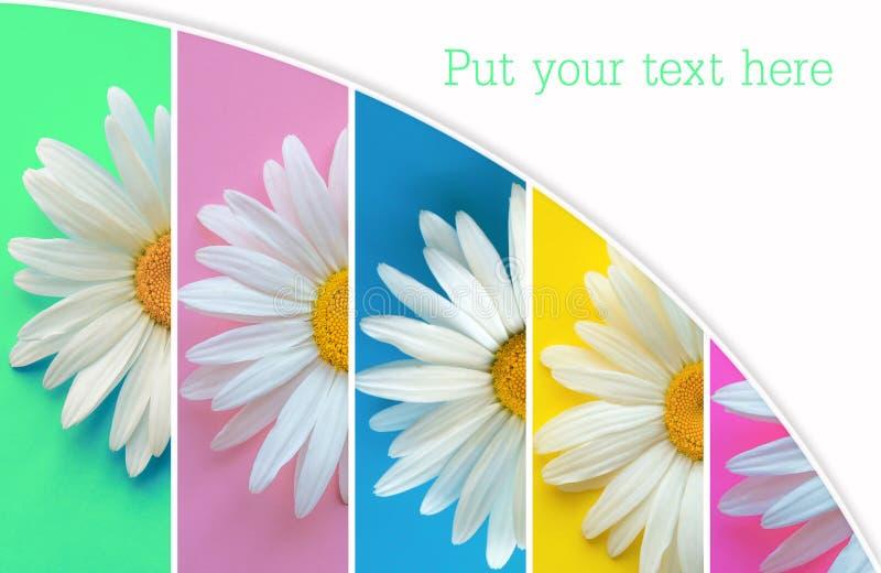 Collage des fleurs d'été de camomille Grandes marguerites sur le fond de menthol, pourpre, bleu, jaune et rose image libre de droits