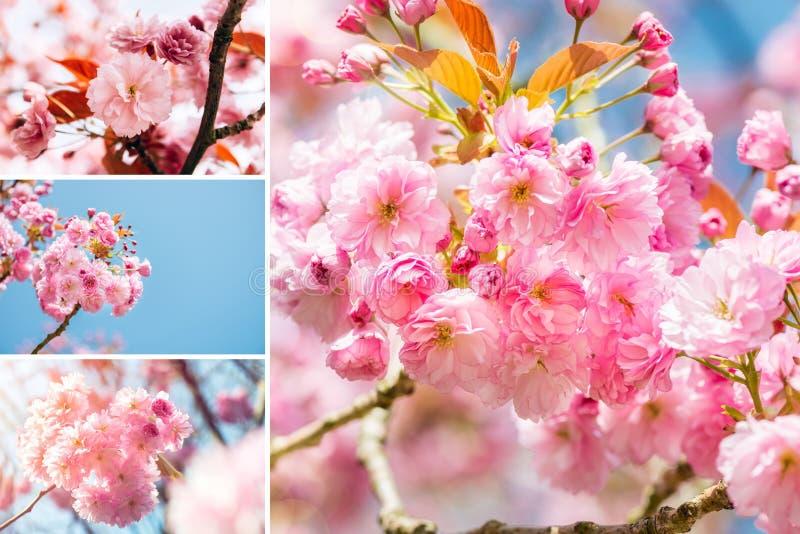 Collage des fleurs de Sakura photos stock