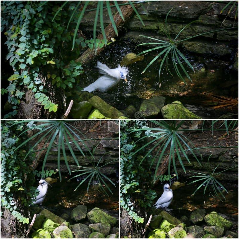 Collage di Bali Starling Mynah White Bird Bathing immagini stock