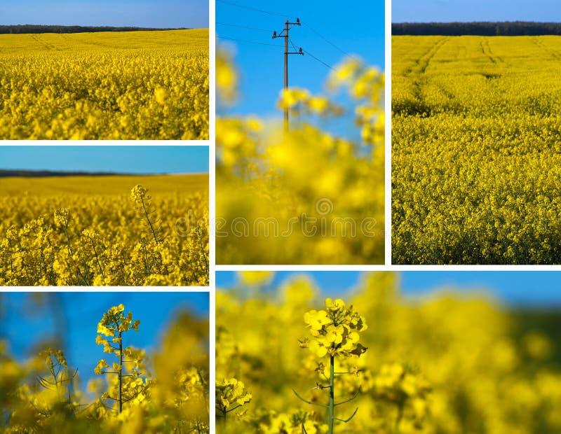 Collage di Canola fotografie stock libere da diritti