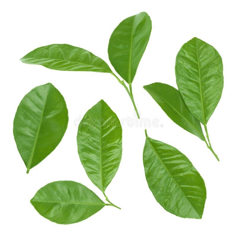Collage di varie foglie dell'agrume isolate su fondo bianco fotografia stock