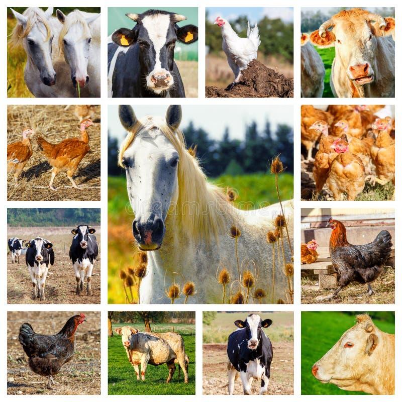 Collage, die einige Vieh und ein wildes Pferd darstellt lizenzfreies stockfoto