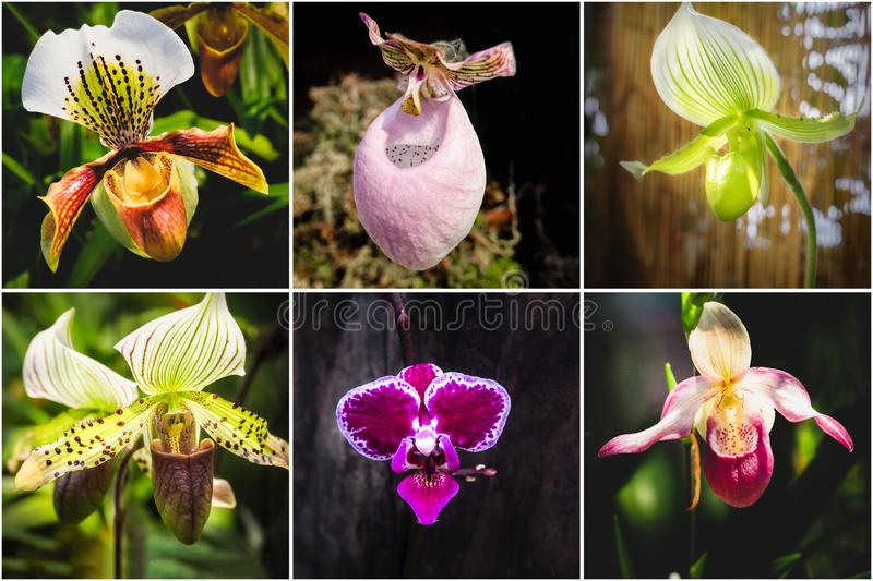 Collage from different pictures of Orchid Paphiopedilum flowers royalty free stock photo