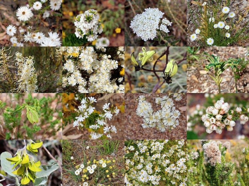 Collage du stationnement blanc Aust occidental de rois de Wildflowers image stock