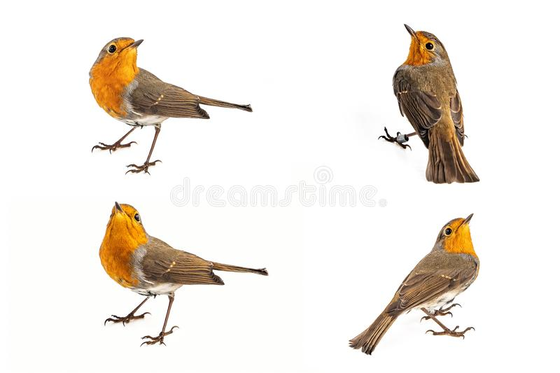 Collage of European robin Erithacus rubecula isolated on a white background stock photography