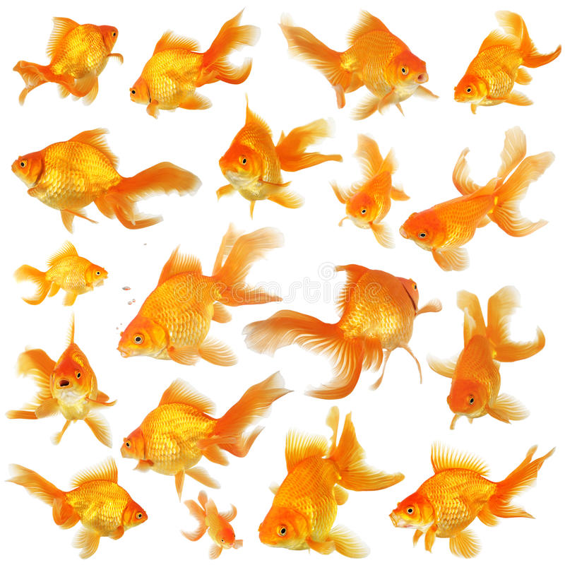Collage of fantail goldfish royalty free stock photos
