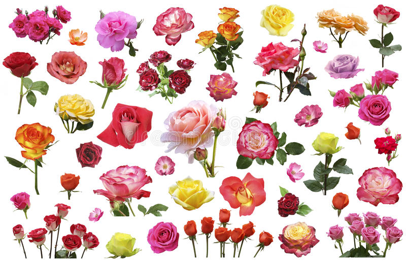 A collage of flowers of roses of different colors and varieties royalty free stock photos