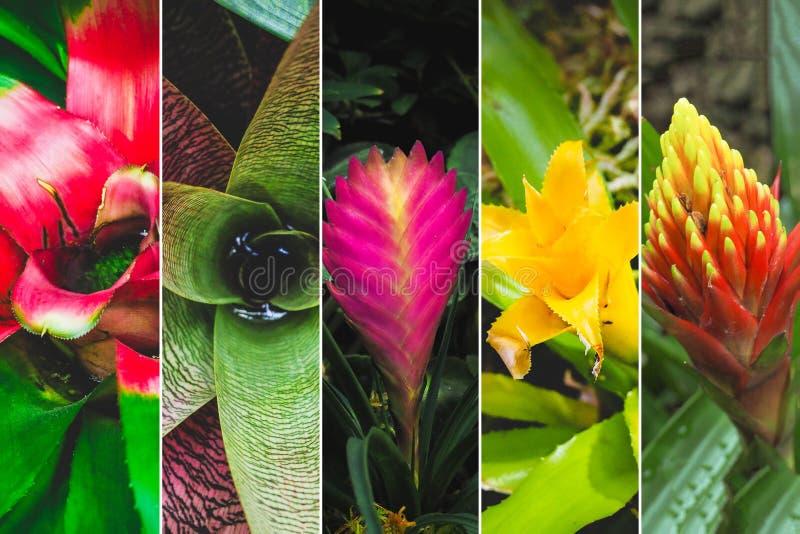 Collage från olika bilder av blommabromelior royaltyfri fotografi