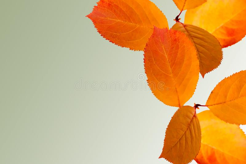 Collage of isolated yellow orange bright autumn leaves on light green background with copy space. October holidays. Thanksgiving Day stock image