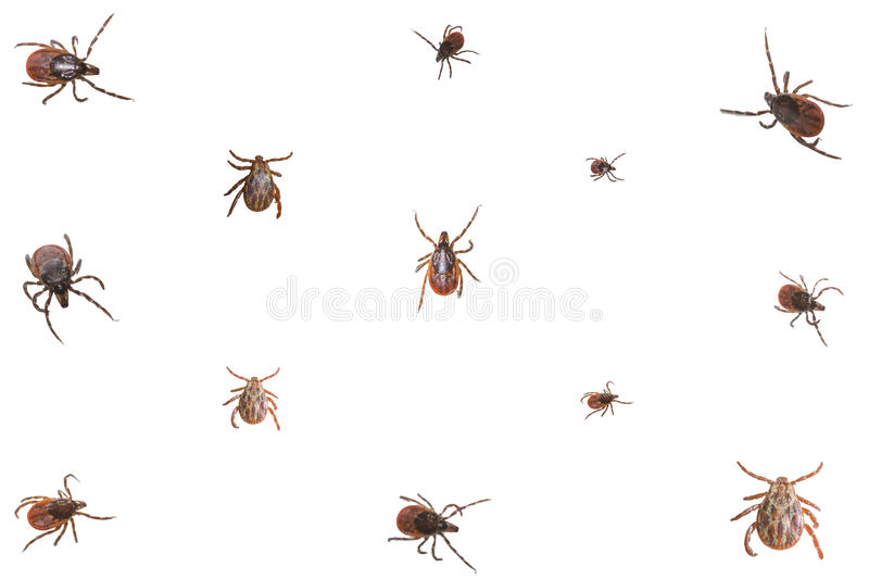 Collage of ixodid ticks. On a white background, close-up stock photography