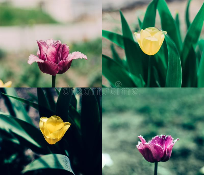 Collage jaune rose de tulipe image stock
