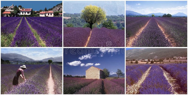 Collage lavender royalty free stock photo