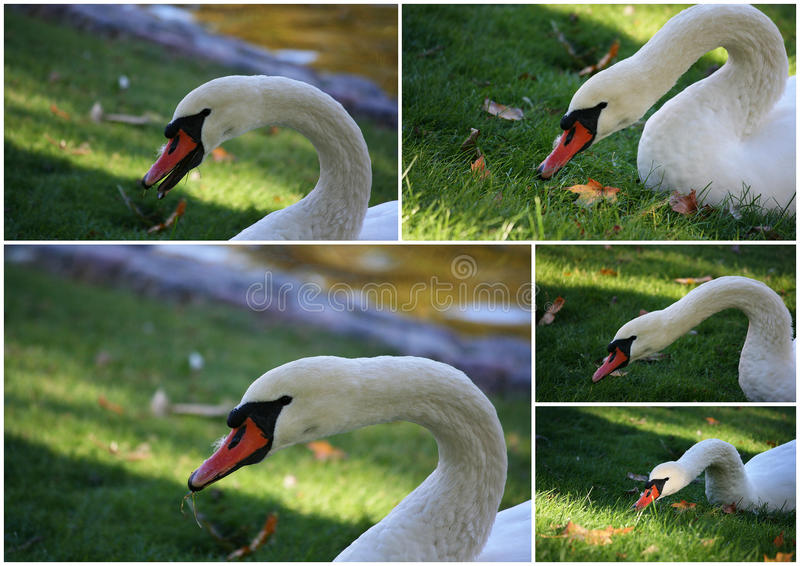 Download Collage of Mute swan stock photo. Image of bird, curvation - 22952142