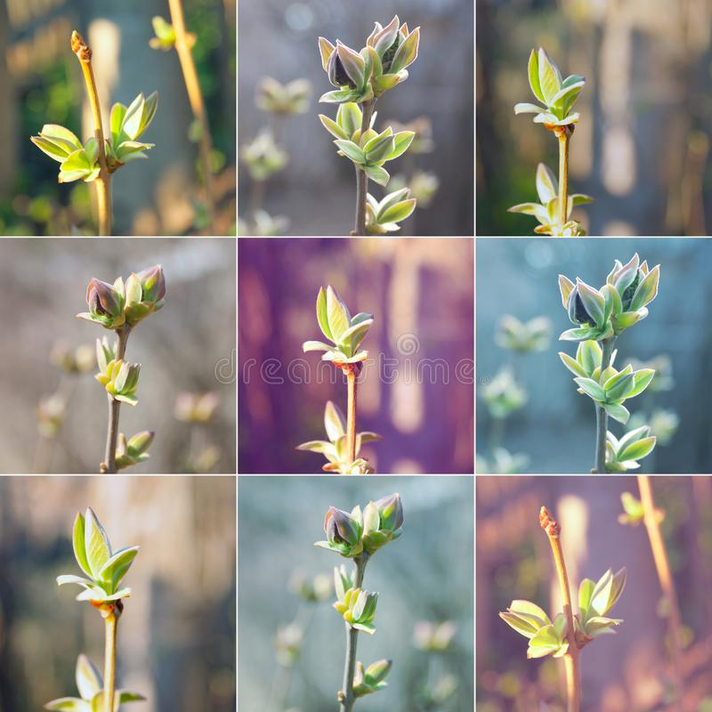 Collage of neutral background of swollen lilac buds in a sunny day. One spring green first sprout royalty free stock photo