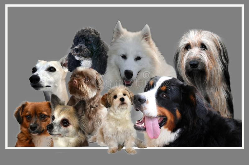 Collage , nine dogs  on grey background stock photography