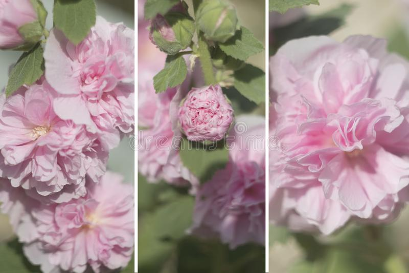 A collage of photos, with flowers, gently pink flowers, set stock image