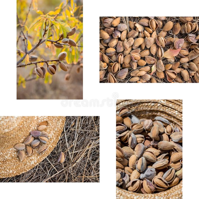 Collage from 4 photos of ripe almonds. stock photo
