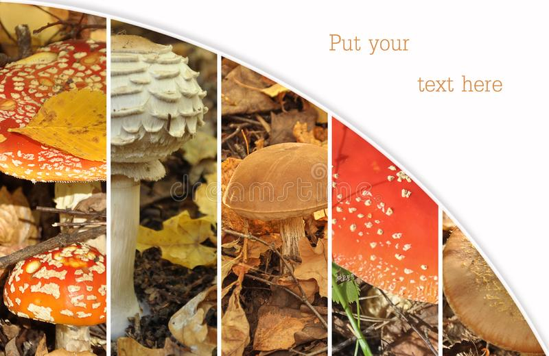 Collage from from poisonous and edible mushrooms, a toadstools. Mushroom collage. Autumn collage showing different mushrooms. Copy stock image