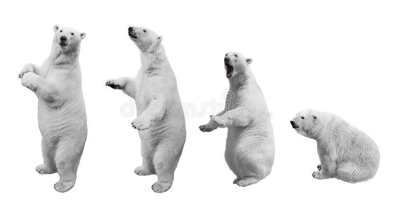 A collage of polar bear in various poses on a white background royalty free stock photos