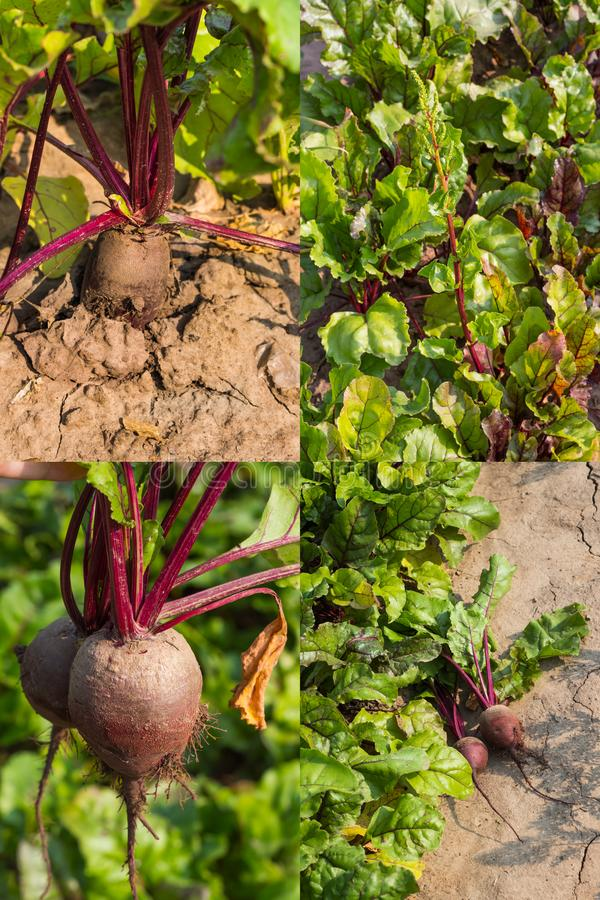 Collage, red beet roots growing in the garden.  stock photo