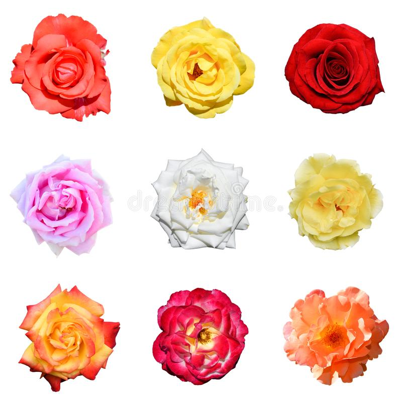 Collage of roses isolated on white background royalty free stock image