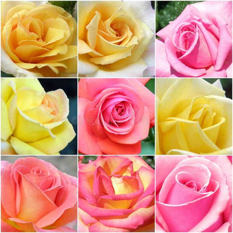 Collage of roses from photos stock photo