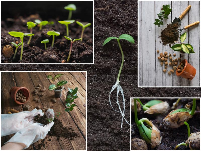 Collage the showing sprout seedling. Growing plants concept. stock photography