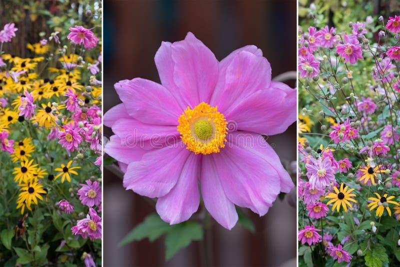 Collage - singolo fiore dell'anemone e fiore rurale autunnale garde fotografia stock libera da diritti