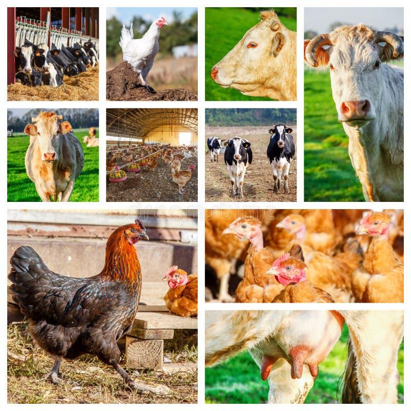 Collage som föreställer flera lantgårddjur arkivbilder