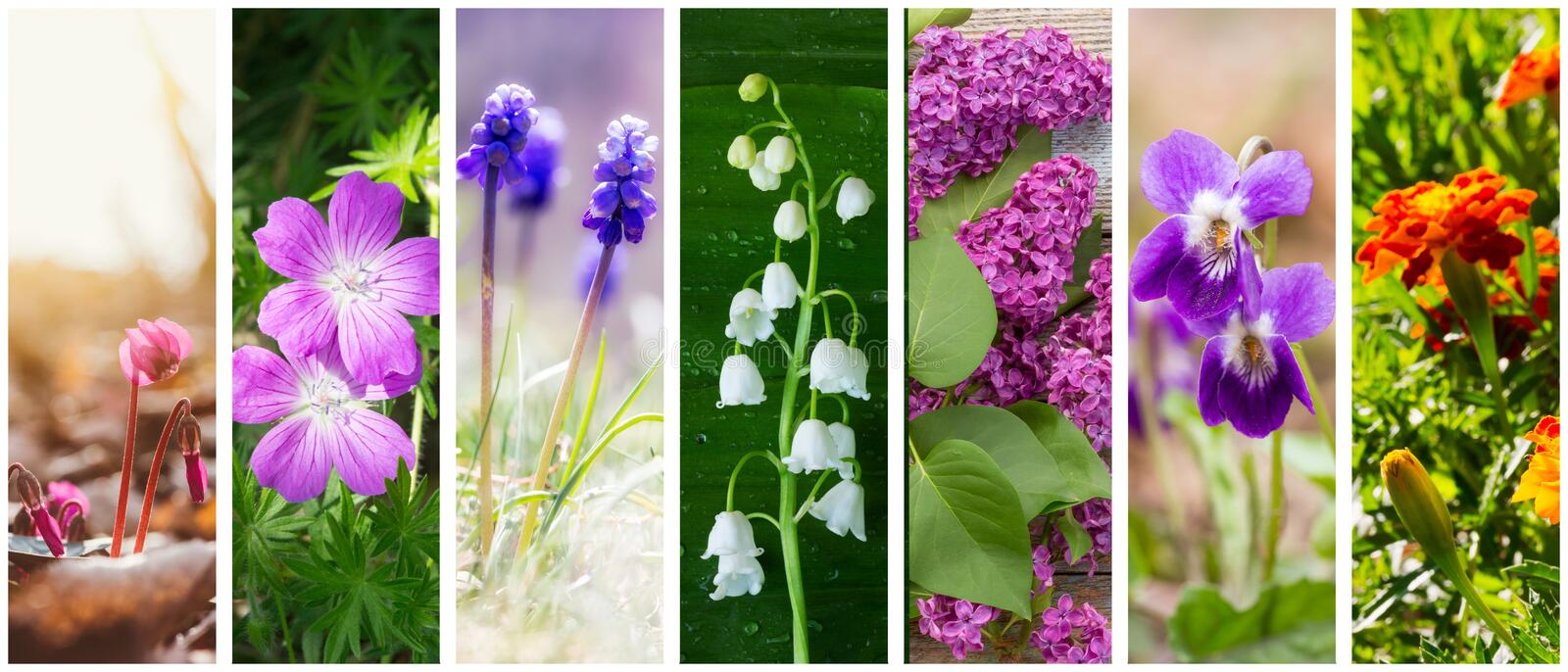 A collage of spring and summer flowers: cyclamen, Lily of the valley, lilacs, marigolds, violets and geranium forest royalty free stock image