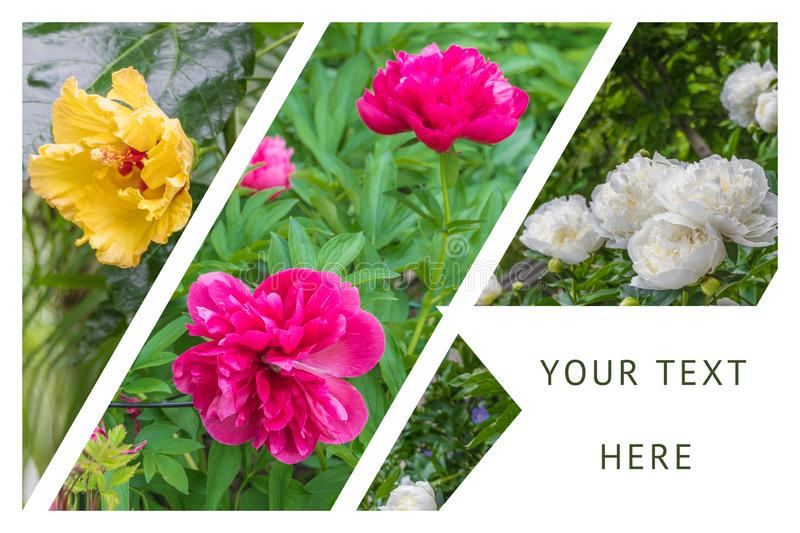 Collage with three different flowers growing on the field. Yellow, pink and white. Summer and spring concept, nature and gardening.  royalty free stock photo