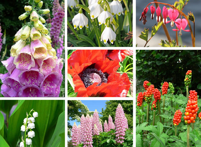 Collage of toxic plants in the garden. Fox glove, snowdrop, bleeding heart, lupinas, opium poppy, arum, lily of the valley stock photo