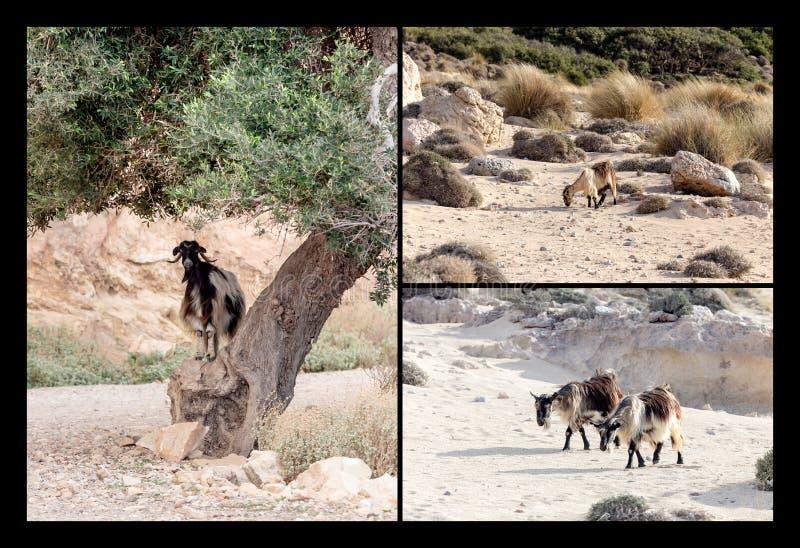 Collage van geiten in de berg stock afbeelding
