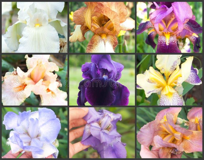Collage van gekleurde irissen op de grijze achtergrond Kleurrijke Irissen stock foto's