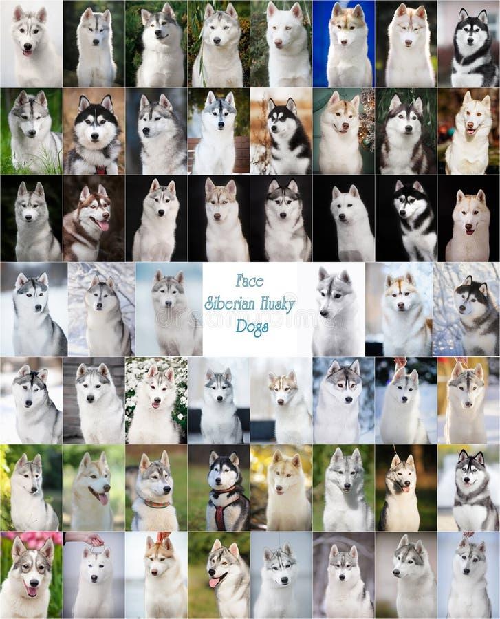 Collage van gezichts de Siberische schor honden royalty-vrije stock afbeelding