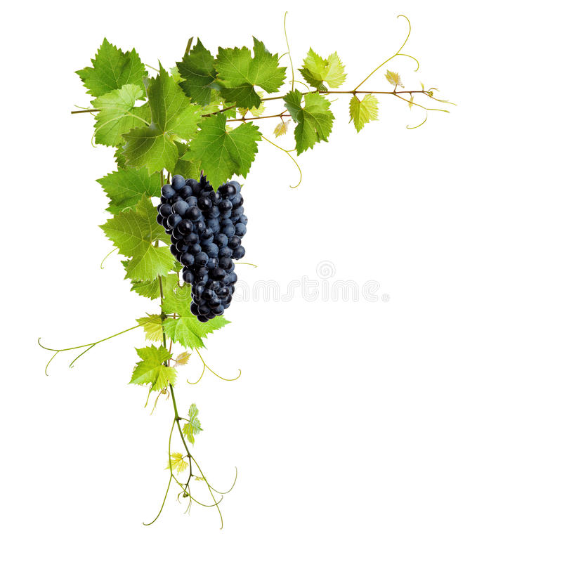 Collage Of Vine Leaves And Blue Grapes Stock Photos