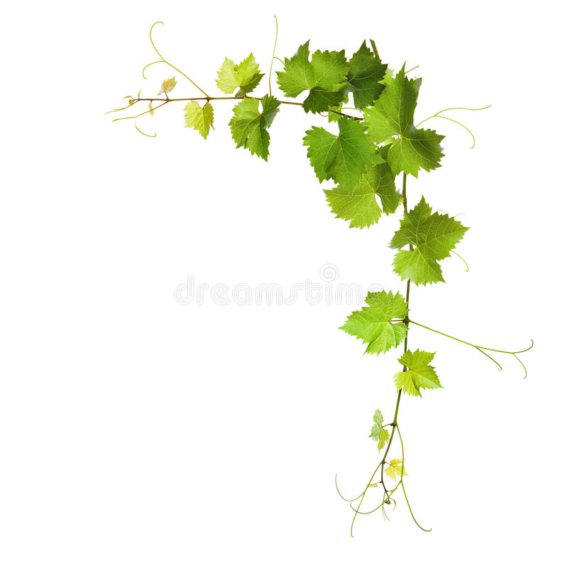 Collage Of Vine Leaves Stock Photo