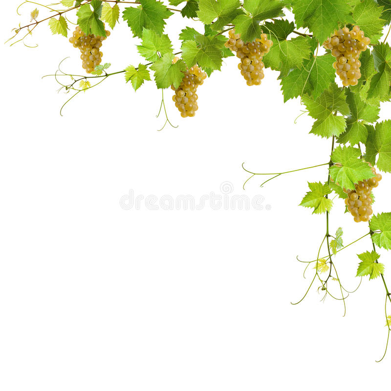 Collage of vine leaves and yellow grapes. On white background royalty free stock photo