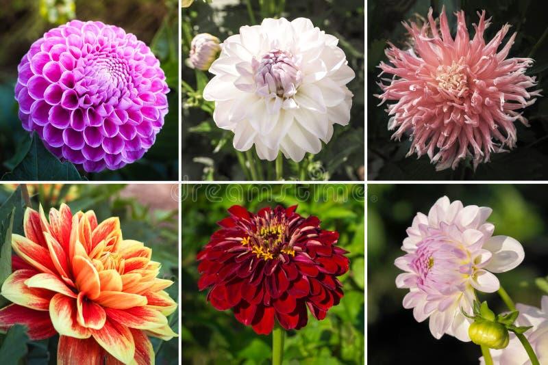 Collage von den verschiedenen Bildern von Herbstblumendahlien vektor abbildung