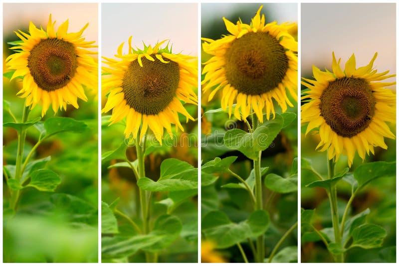 Collage von organischen frischen Sonnenblumen in einer Feldnahaufnahme Schöner Blumensommerhintergrund auf verschiedenen Themen lizenzfreie stockfotos