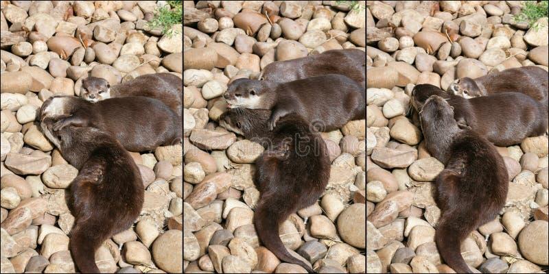Collage von Orientalen Klein--kratzte die Otter-Familie, die auf dem Ro schläft lizenzfreies stockbild