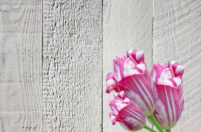 Collage of white burgundy beautiful tulip flowers on a gray wooden background with copy space. stock images