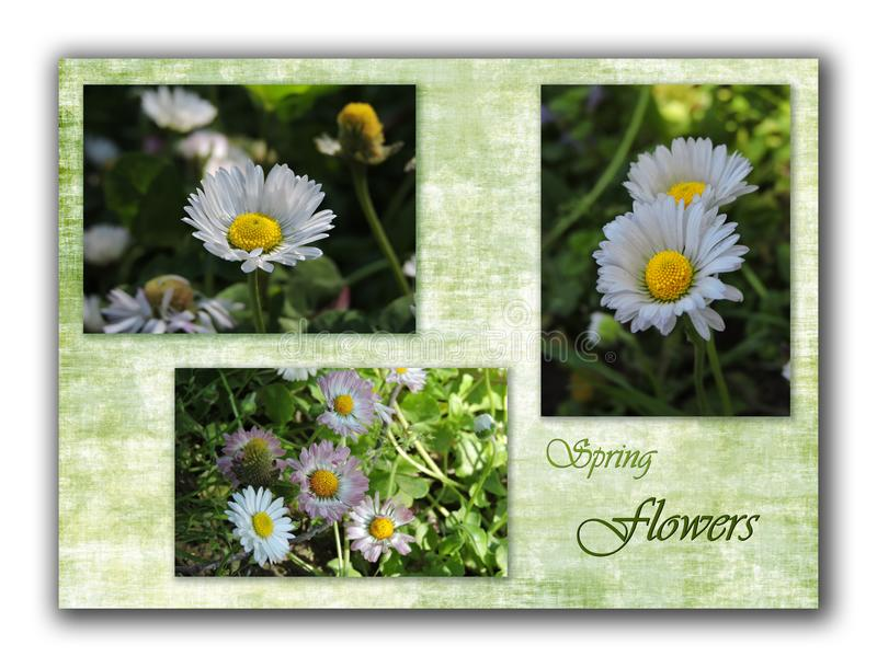 Collage with daisies and inscription Spring flowers on green background stock illustration