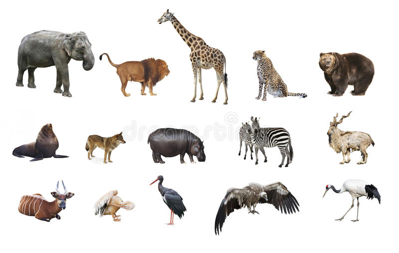 A collage of wild animals. On white background isolated