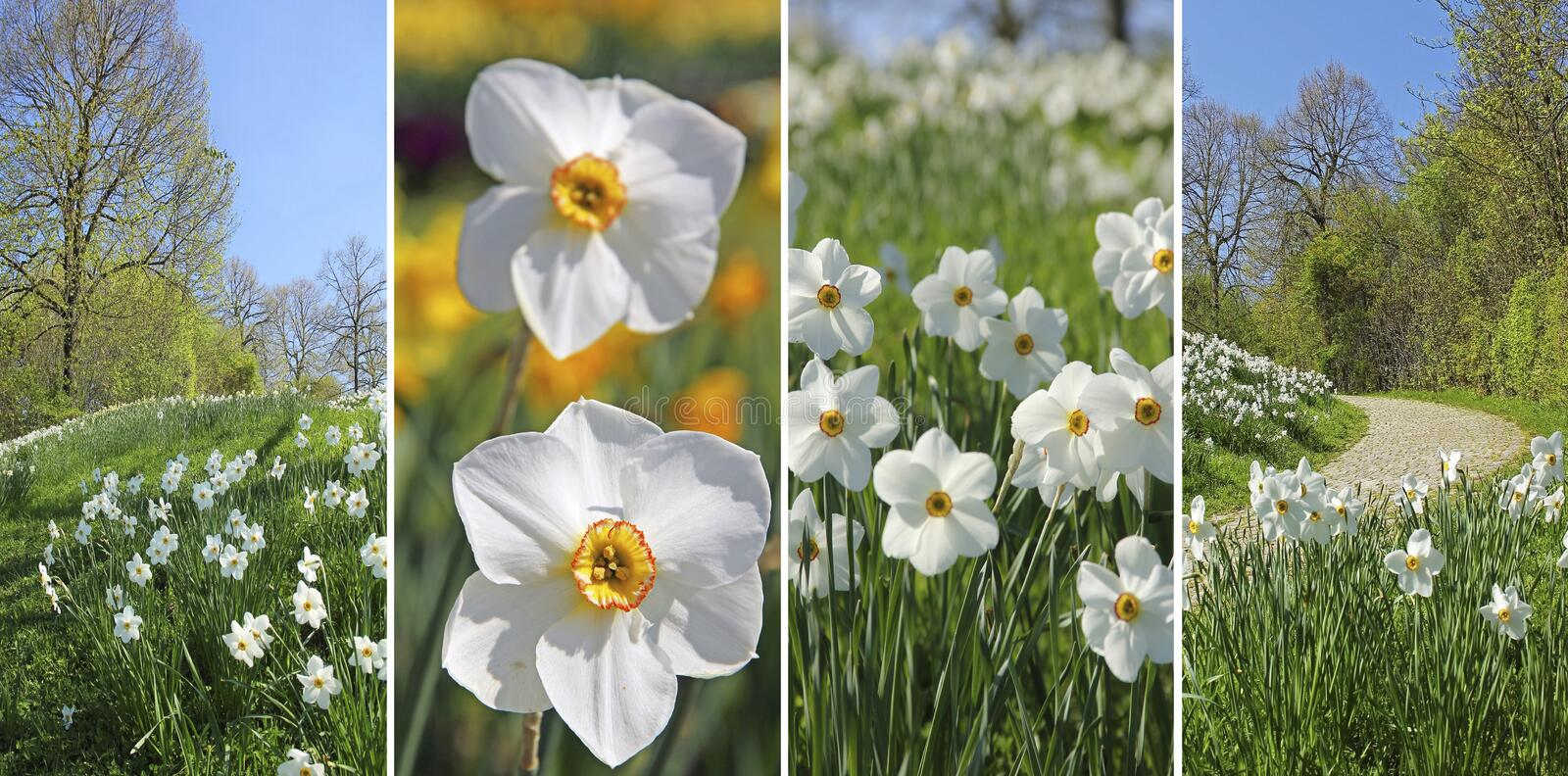 Collage - wild narcissus flowers in the park stock photo
