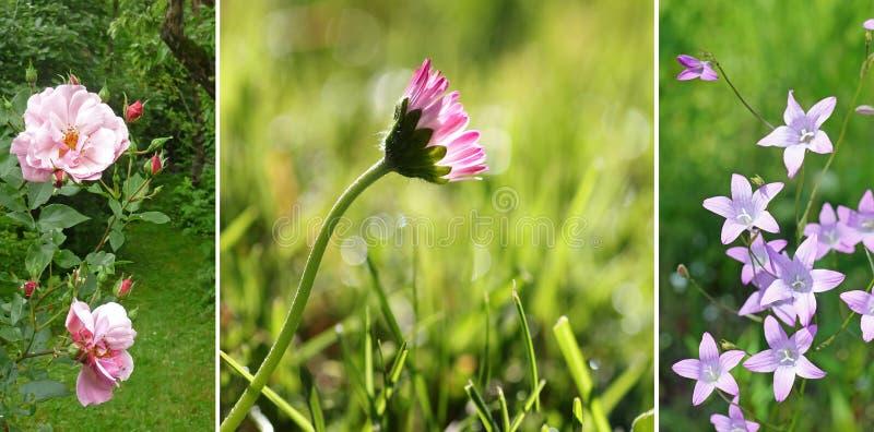 Collage - wildflowers de jardin :  sauvage s'est levée, la marguerite dans la pelouse, soit image stock