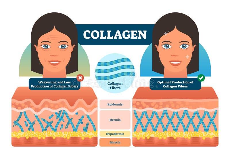 Collageen vectorillustratie Medische en anatomische geëtiketteerde regeling met vezels, epidermis, hypodermis en spier Anatomiedi vector illustratie