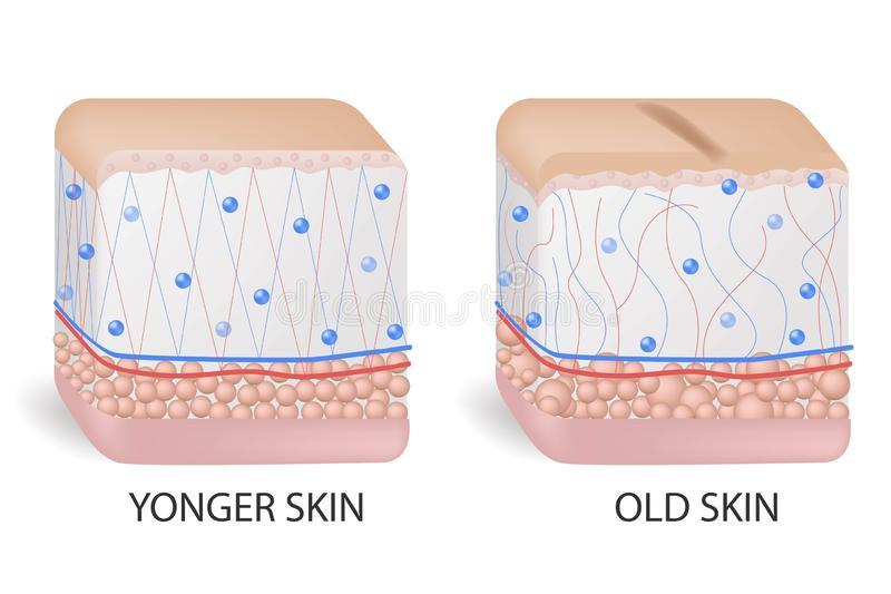 Collagen and elastine. Younger and older skin. Visual representation of skin changes over a lifetime. Collagen and stock illustration
