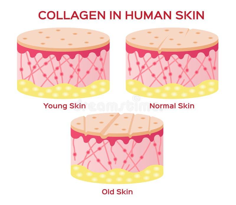 Collagen i mer ung hud- och åldrasversion stock illustrationer