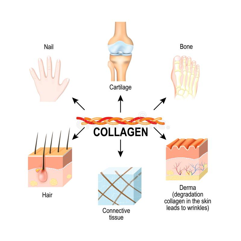 Collagen is the main structural protein in the: connective tissues, cartilages, bones, nails, derma and hair. royalty free illustration